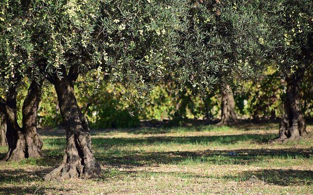 domaines oliviers dauge